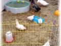 Promowknd kippen Robin 061018