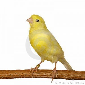 kanarie geel serinus
